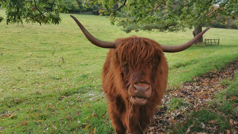 Highland Cow - Maria Rodrigues.jpg