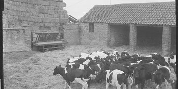 Beef cattle at a 1959 Young Farmers Club one day course in Goathland, Yorkshire