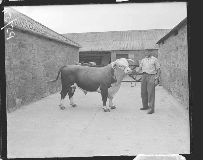 A bull from the 1959 British Association Tour, Norham, Northumberland
